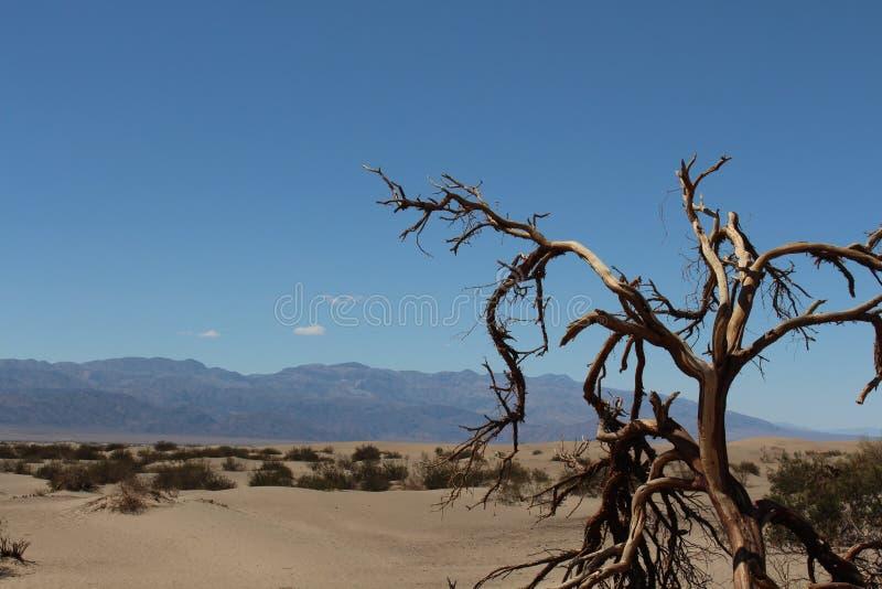 Oude boom in de woestijn royalty-vrije stock afbeeldingen