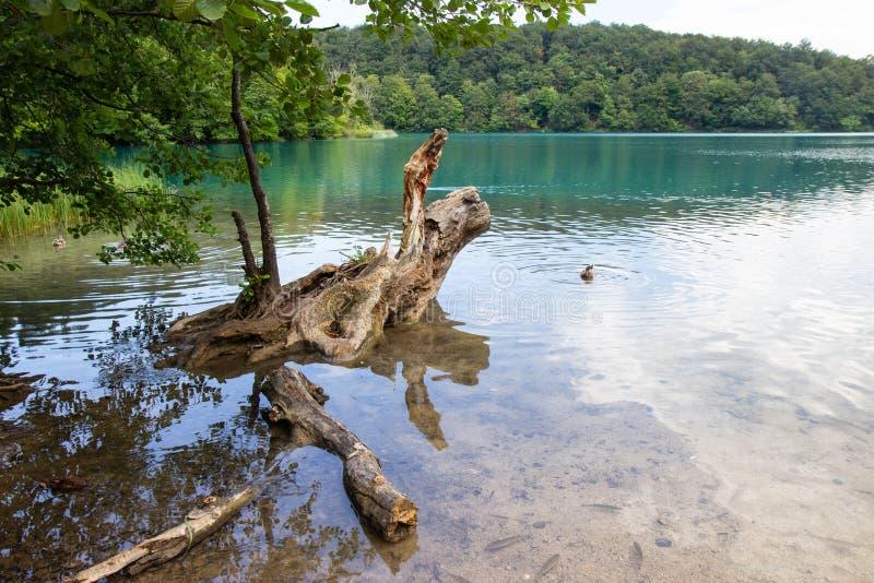 Oude boom die bij Plitvice-Meren Nationaal park blijven royalty-vrije stock afbeelding