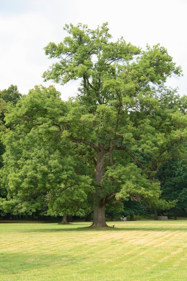 Oude boom in een park stock afbeeldingen