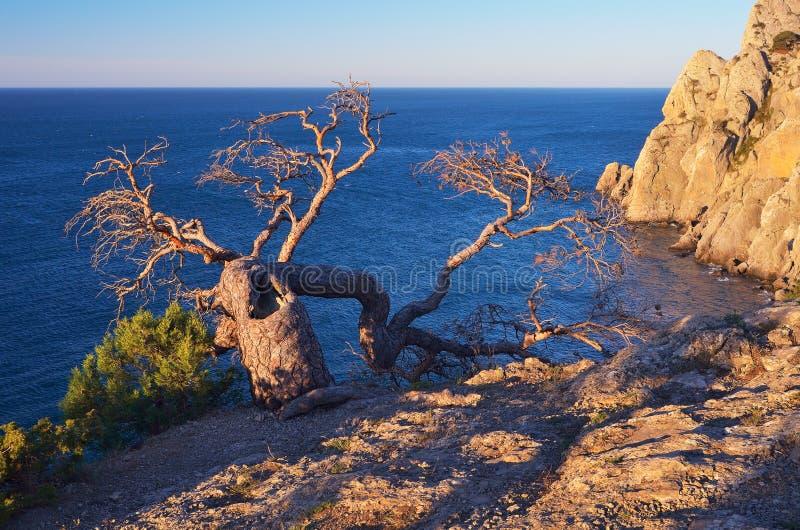 Oude boom op een rots door het overzees stock foto's