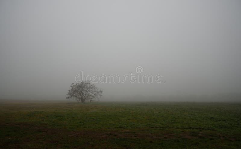 Oude boom op het gebied een mistige dag stock afbeeldingen