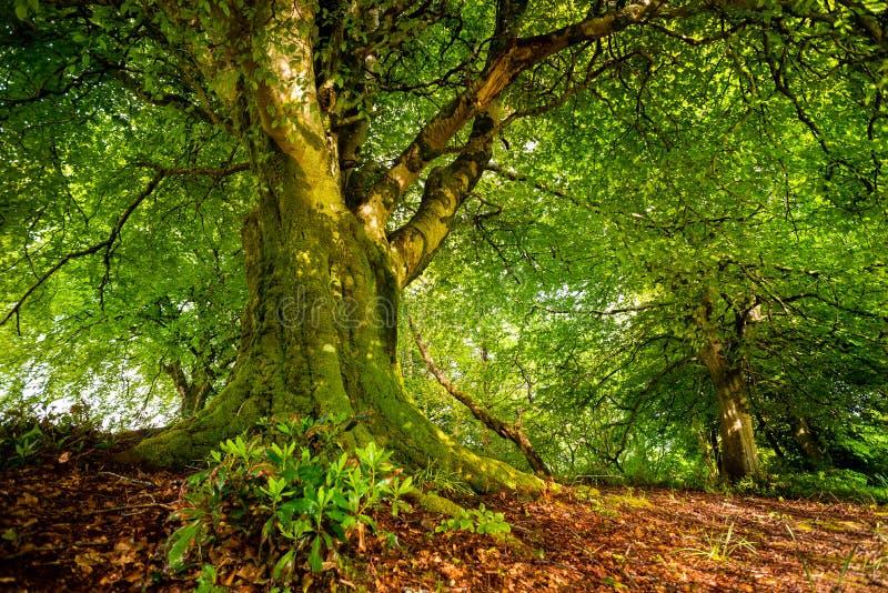 Oude boom in Schots bos royalty-vrije stock afbeelding