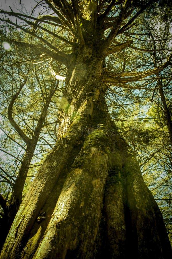 Oude boom in vergeten bos royalty-vrije stock fotografie