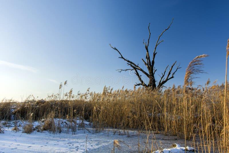 Oude boom zonder bladeren, riet en sneeuw stock afbeeldingen