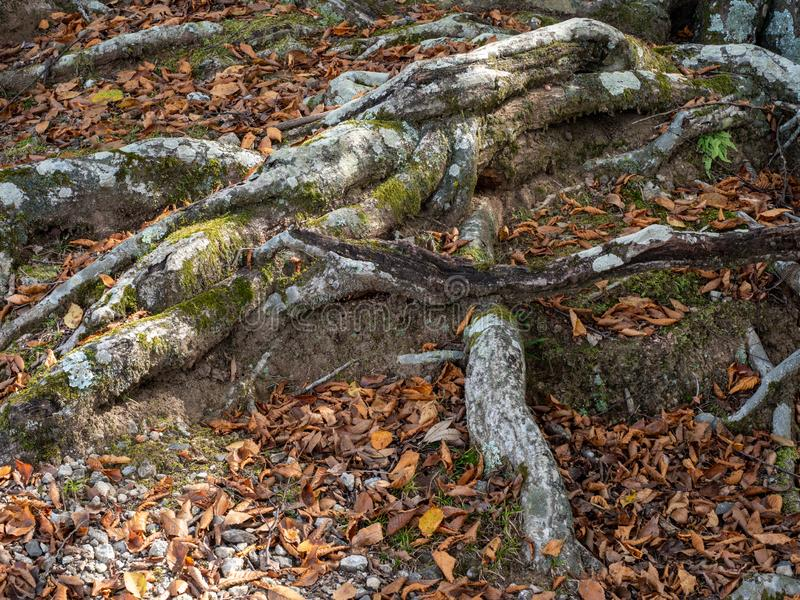 Oude boomwortels en oude boomstam met groen mos en rode bladeren royalty-vrije stock fotografie