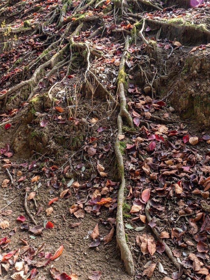 Oude boomwortels en oude boomstam met groen mos en rode bladeren stock foto
