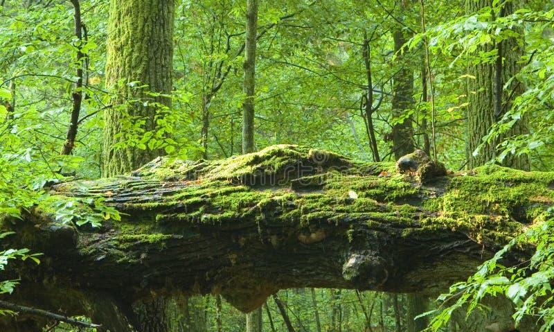 Oude bos en dode eik royalty-vrije stock afbeeldingen