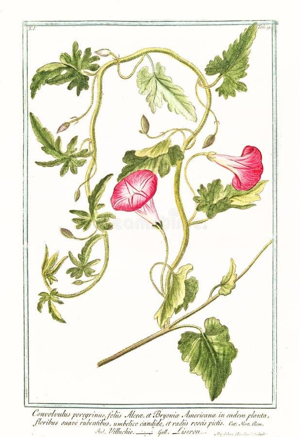Oude botanische illustratie van Convolvolus-peregrinusinstallatie royalty-vrije stock afbeelding