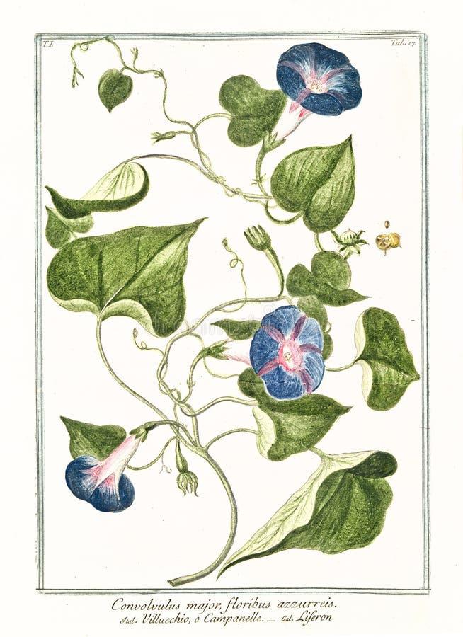 Oude botanische illustratie van de belangrijke installatie van Convolvolus stock afbeelding