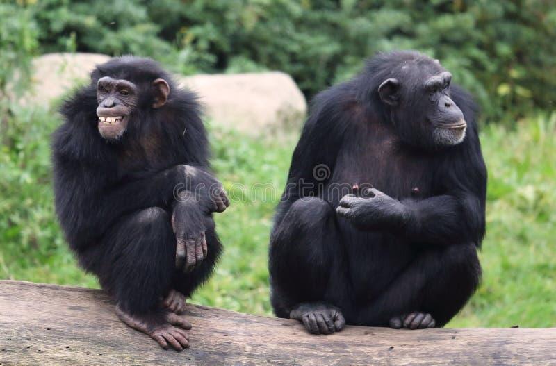 Oude chimpansees stock afbeeldingen