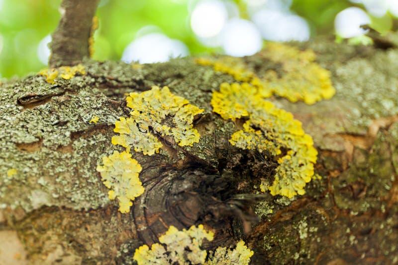 Oude de takachtergrond van de korstmosboom stock foto's