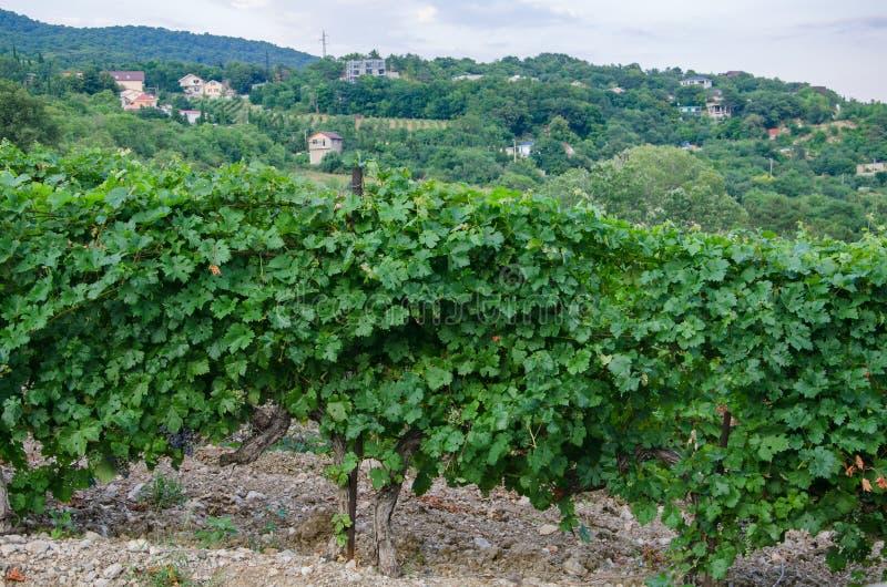 Oude de wijnstok dichte omhooggaand van het wijngaardlandschap stock foto