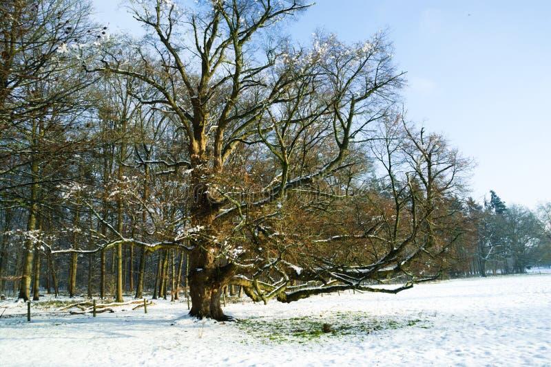 Oude de zomereik in sneeuwweide stock afbeelding