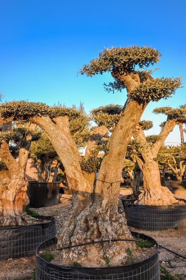 Oude decoratieve die olijfboom voor verkoop wordt aangeboden royalty-vrije stock foto's