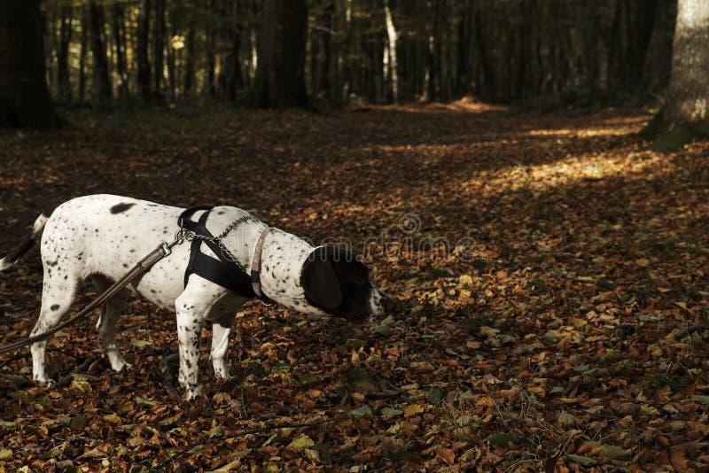 Oude Deense wijzerhond binnen bij leiband in bos met gevallen bladeren in de bosvloer stock fotografie