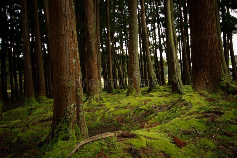 Oude die bomen in een bos met de vloer met mos wordt behandeld royalty-vrije stock afbeelding