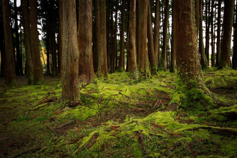 Oude die bomen in een bos met de vloer met mos wordt behandeld stock foto