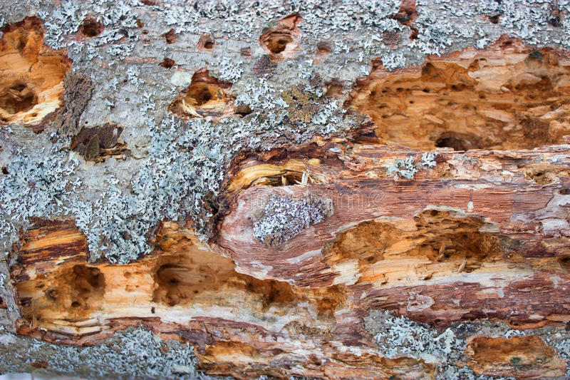 Oude die boom door termits wordt beschadigd royalty-vrije stock foto's
