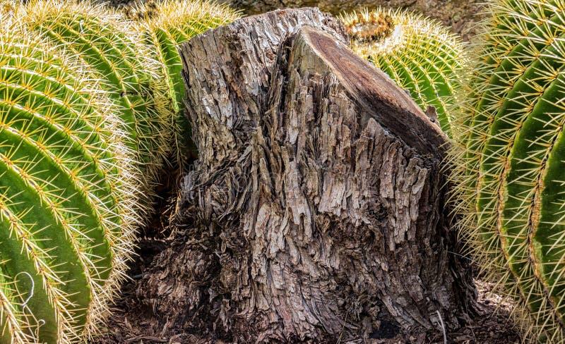 Oude die boomstomp door mooie Gouden Vatcactus wordt omringd royalty-vrije stock afbeeldingen