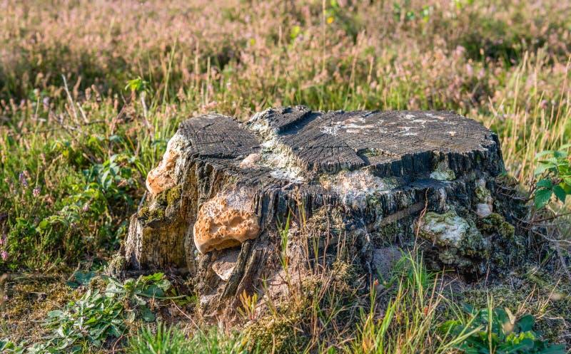 Oude die boomstomp met paddestoelen wordt behandeld stock fotografie