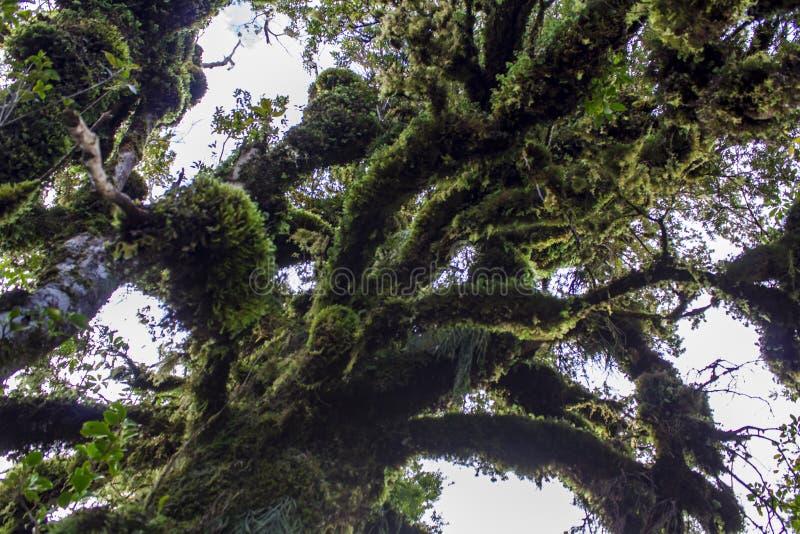 Oude die boomtakken met mos worden behandeld royalty-vrije stock afbeelding