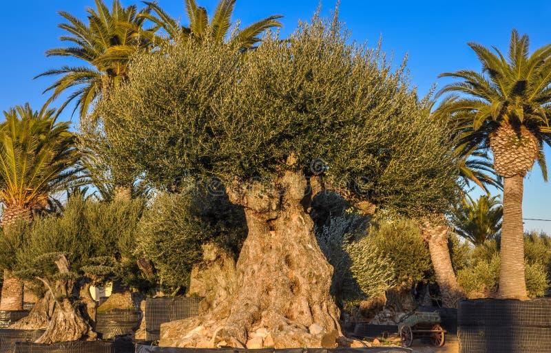 Oude die olijf en palmen voor verkoop wordt aangeboden royalty-vrije stock foto's
