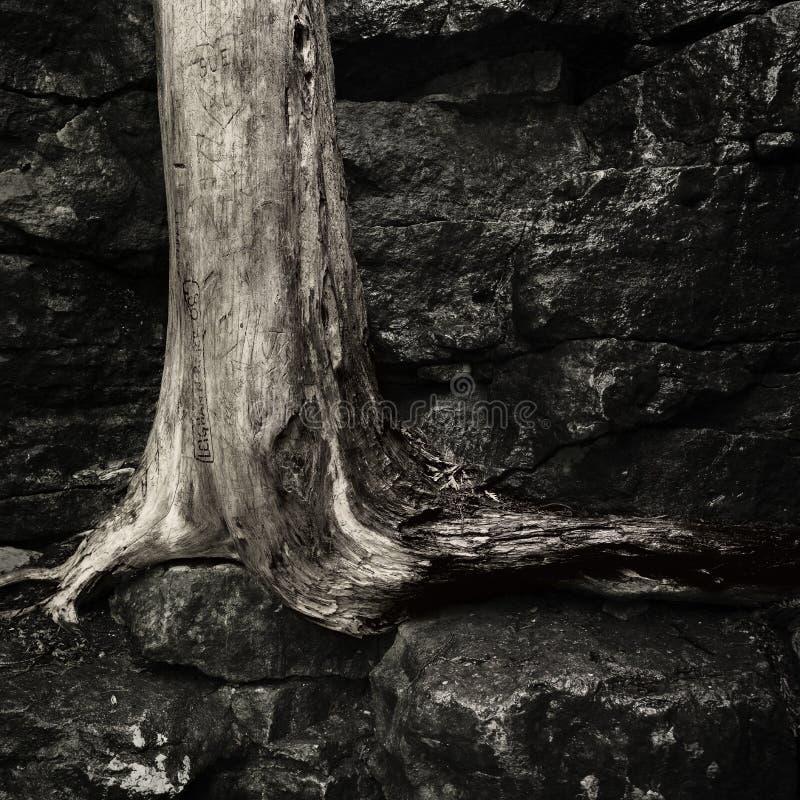 Oude dode boomboomstam stock afbeelding