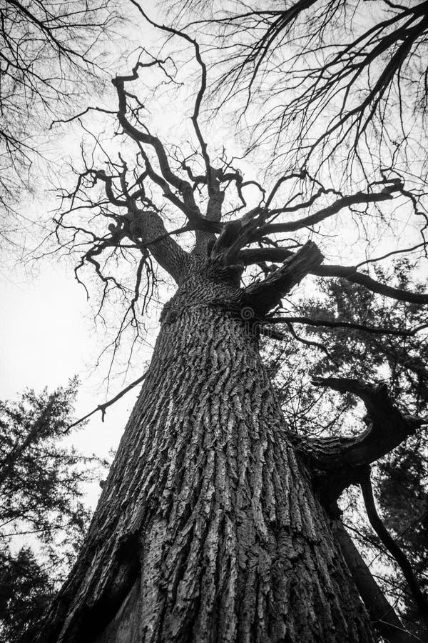 Oude dode eiken boom zwart-witte knokig royalty-vrije stock foto's