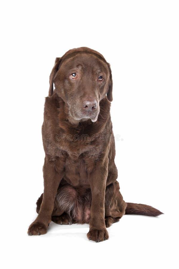 Oude droevige chocolade Labrador stock foto