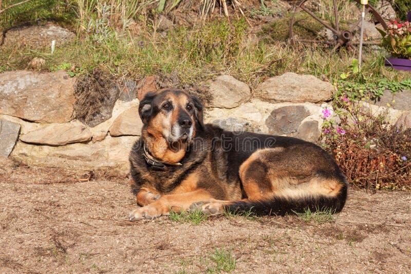 Oude droevige hond die in de tuin liggen Droevig kijk Rust in oude dag Zieke Hond royalty-vrije stock foto's