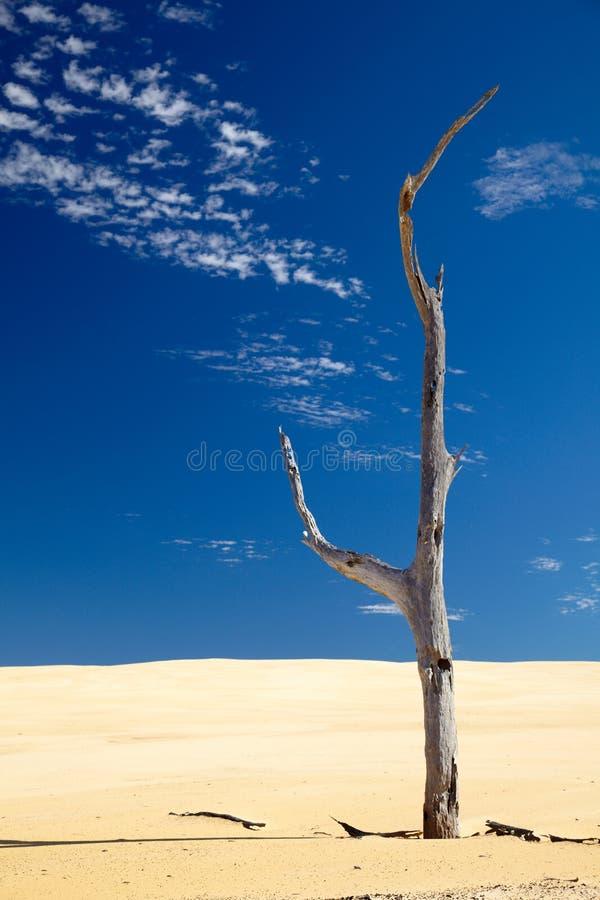 Oude droge dode boom in een woestijn stock afbeelding