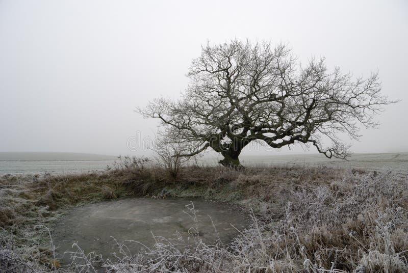 Oude eik in mist stock afbeelding