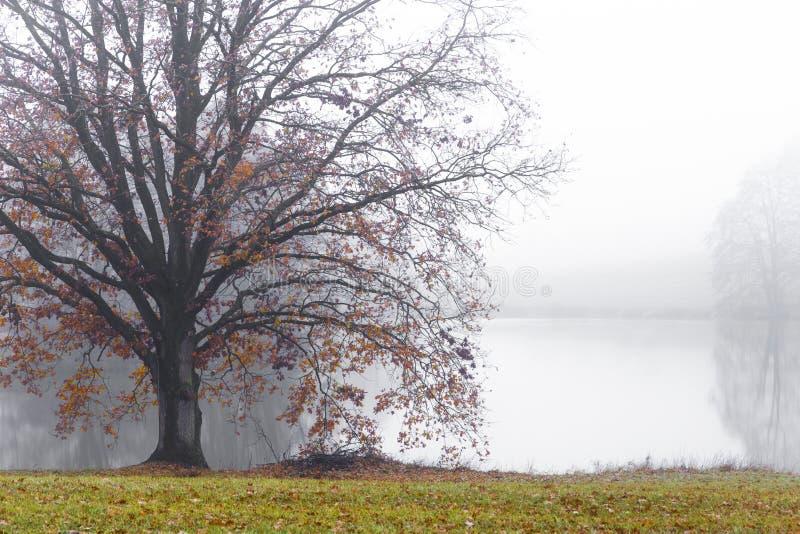 Oude eik over de waterspiegel van een stil meer in de mist royalty-vrije stock foto's