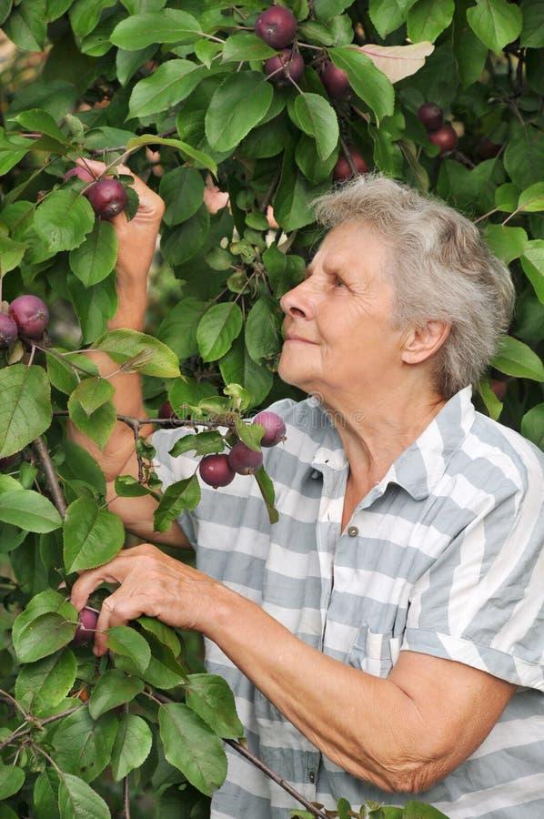 Oude en gelukkige vrouw die haar appelen bekijken stock afbeelding