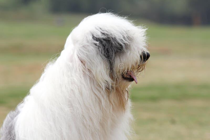 Oude Engelse herdershond royalty-vrije stock foto