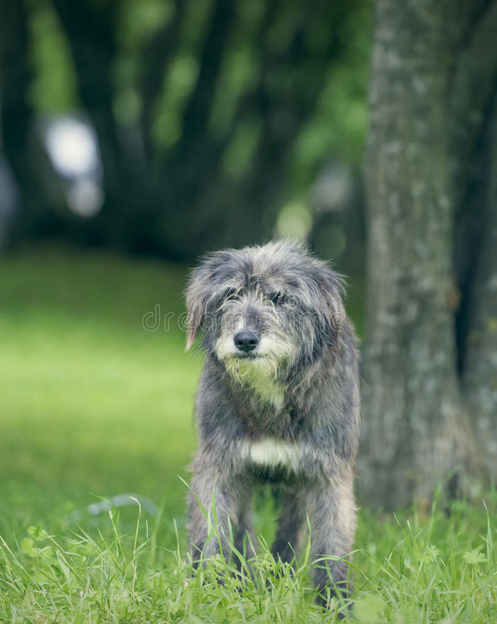 Oude Engelse herdershond die in gras rusten royalty-vrije stock afbeelding