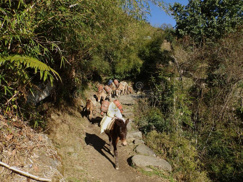 Oude ezels dragende goederen op de sleep in Nepalees Himalayagebergte stock foto