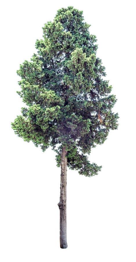 Oude geïsoleerde cipresboom royalty-vrije stock fotografie
