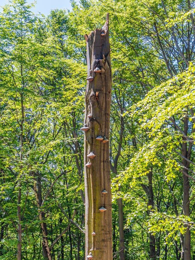 Oude gebroken boom met polypores royalty-vrije stock afbeelding