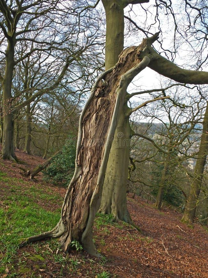 Oude gespleten het leven boom met blootgesteld geweven hout met korrelpatroon op een hellings bosachtergrond stock foto