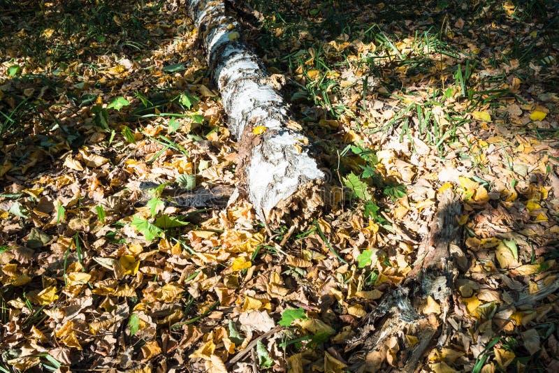 Oude gevallen berkboom op bladdraagstoel in bos royalty-vrije stock afbeeldingen