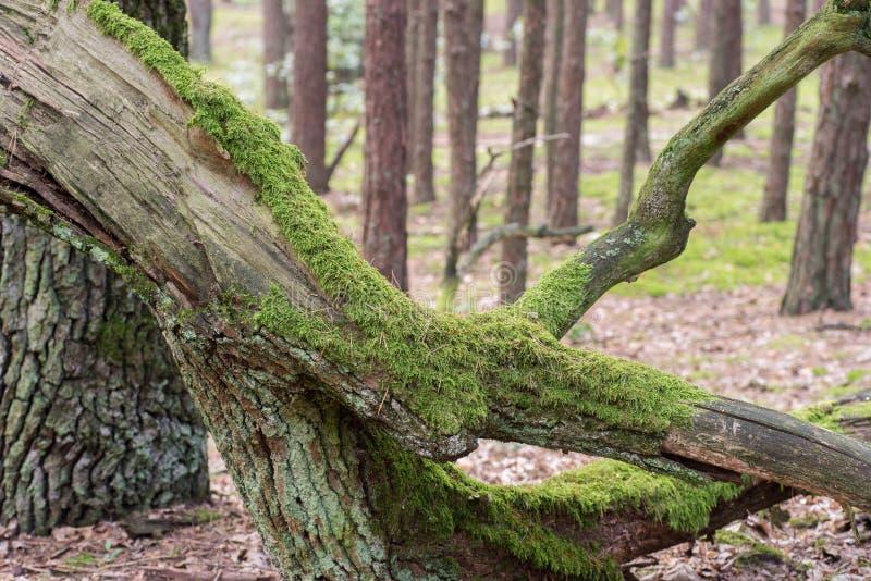 Oude gevallen boom in bos royalty-vrije stock afbeelding