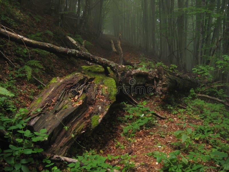 Oude gevallen boom die op wandelingsweg rotten in nevelig bos stock afbeelding