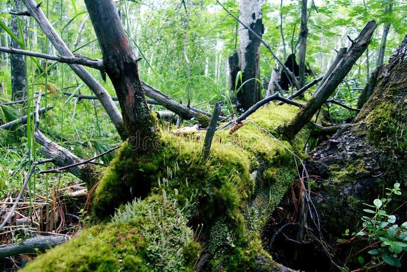 Oude gevallen boom in het mos stock fotografie