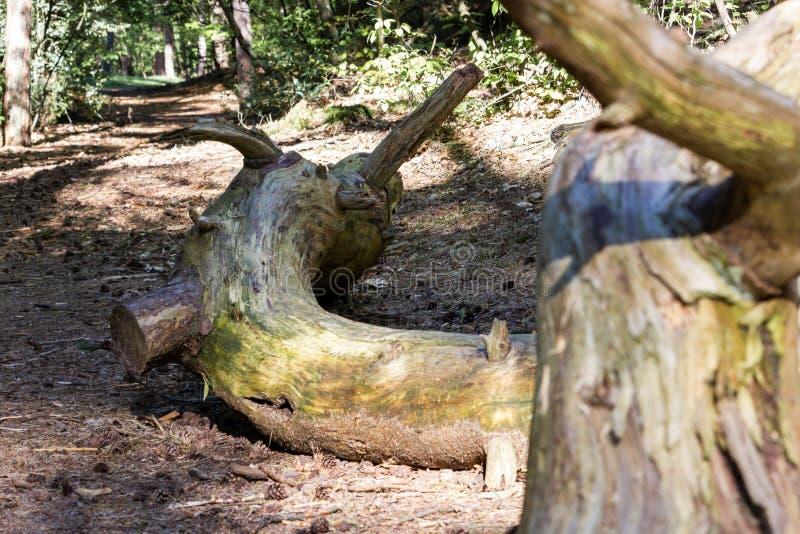 Oude gevallen gebogen en gevilde boomboomstam op de bosvloer stock afbeelding
