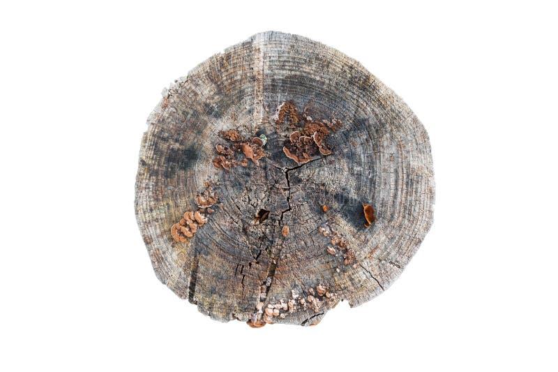 Oude grijze houten die stomp op de witte achtergrond wordt geïsoleerd Rond verminderde boom met jaarringen als houten textuur royalty-vrije stock foto