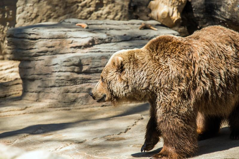 Oude grizzly stock foto's