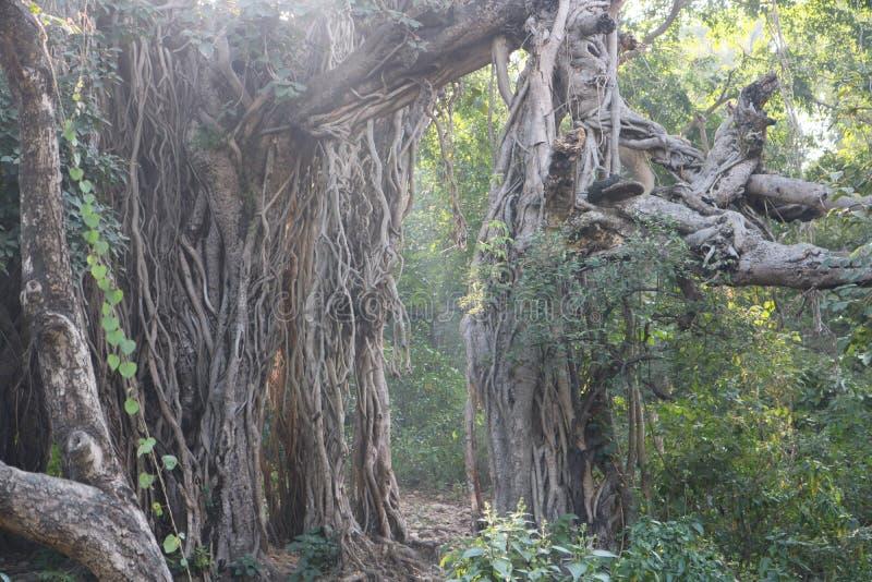 Oude grote banyan boom in donkergroen bos met grote wortels stock afbeelding