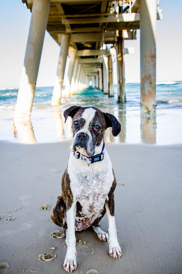 Oude hond die eigenaar willen op oceaanstrandvakantie spelen royalty-vrije stock foto