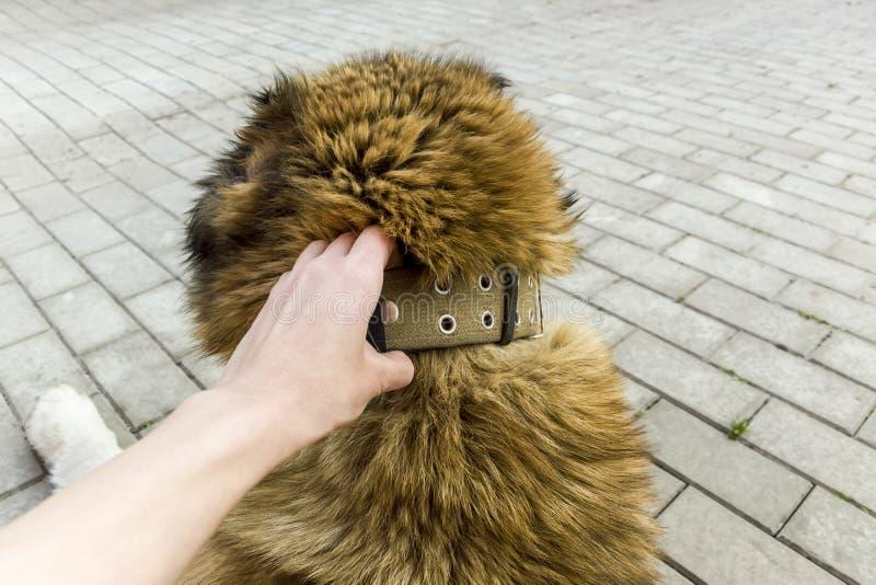 Oude hond Kaukasische herdershond twee jaar royalty-vrije stock foto's